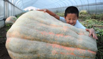 安徽560斤巨型南瓜亮相 有一个小孩那么高