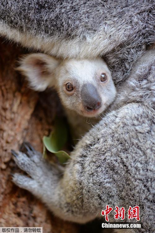 澳大利亚现罕见白色小考拉