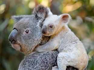 澳大利亞現罕見白色小考拉