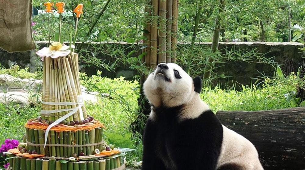 """海归大熊猫""""宝宝""""在家乡欢度4岁生日"""