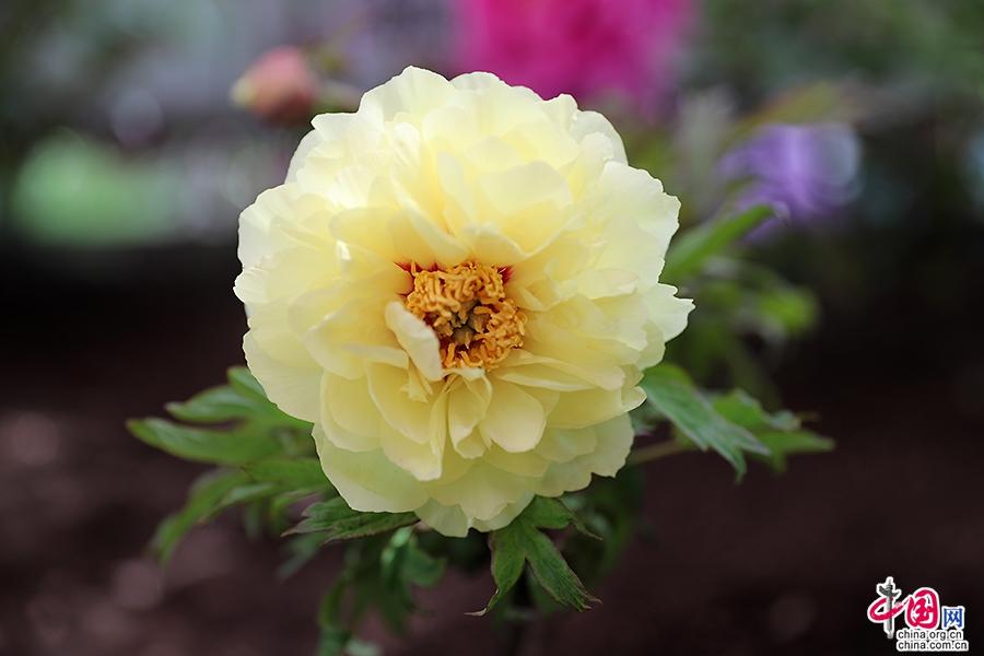 日本牡丹——黄色牡丹(正午)