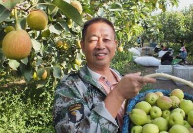 新疆70万亩库尔勒香梨进入采摘期