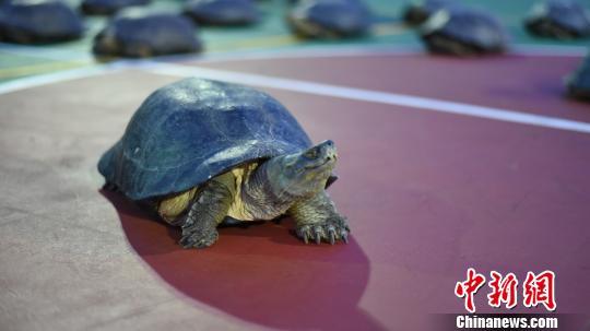 广西防城港边防查获18只亚洲巨龟