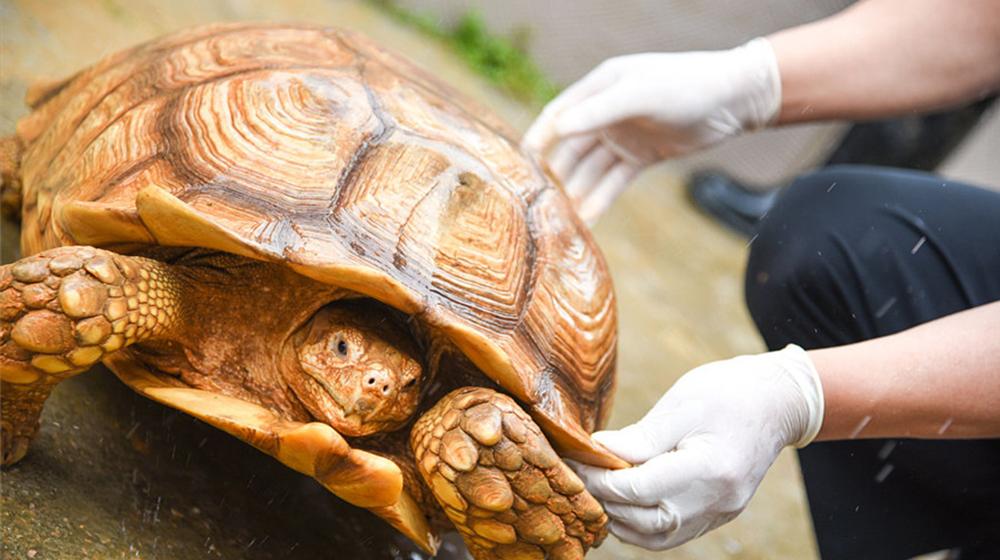200只非洲巨龟进驻广州 属世界上第三大陆龟