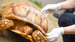 200只非洲巨龟进驻广州