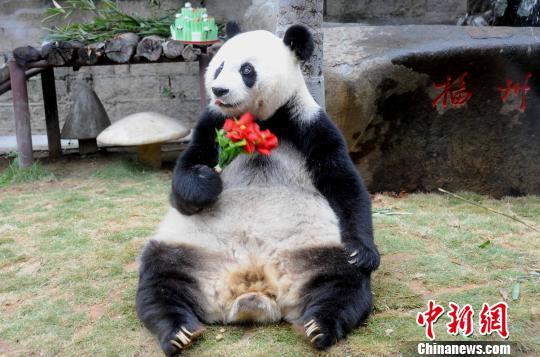 """2010年11月13日,福州熊猫世界、海峡(福州)熊猫世界在福州为闻名海内外的1990年北京亚运会吉祥物""""盼盼""""的原型——大熊猫明星""""巴斯""""举办隆重的30岁(相当于人类一百多岁)生日庆典系列活动。 刘可耕 摄"""