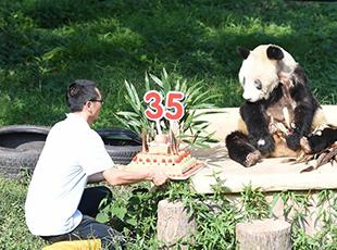 """重庆动物园为大熊猫""""新星""""办35岁生日会"""