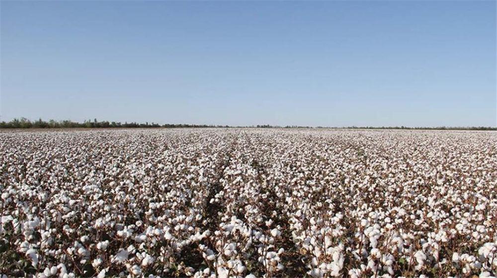 新疆兵团近千万亩棉花进入盛花期即将采收