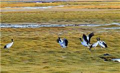 西藏羌塘:野生動物的樂園