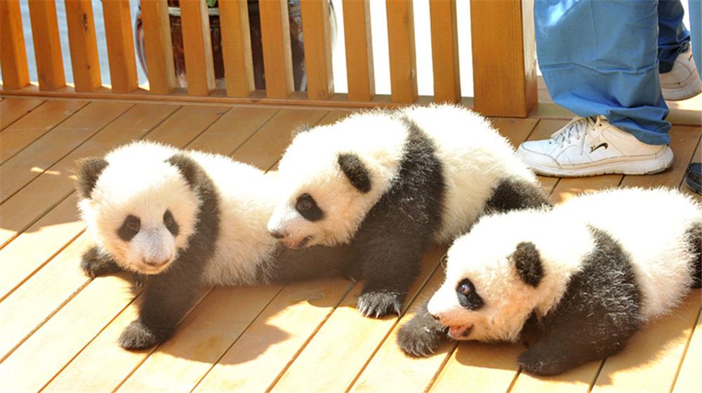 三只大熊猫宝宝面向社会征(冠)名认养