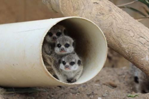 澳大利亚国家动物园刚刚满月不久的3只猫鼬宝宝。(图片来源:澳大利亚国家动物园与水族馆)