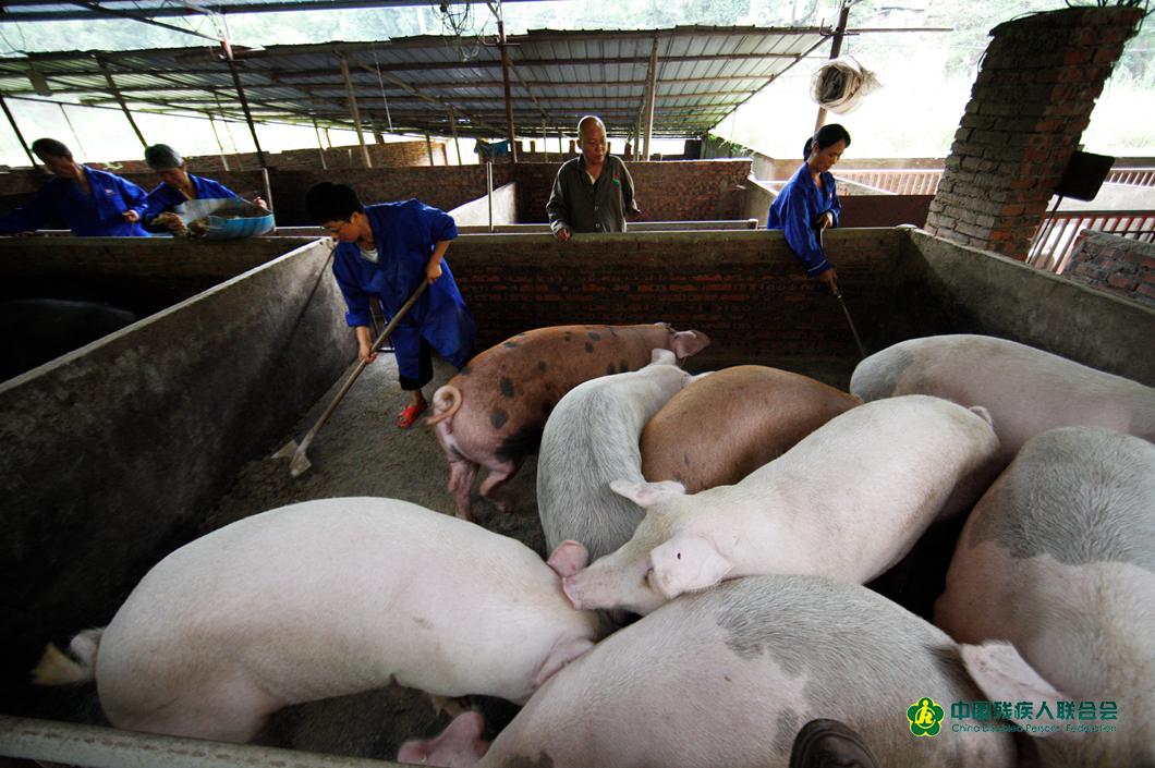 熊本超養豬場的技術人員在清理豬圈