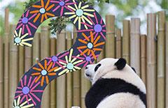 加拿大出生的龙凤胎大熊猫过两周岁生日[组图]