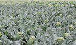 外国研究人员发现:绿菜花有益肠道健康