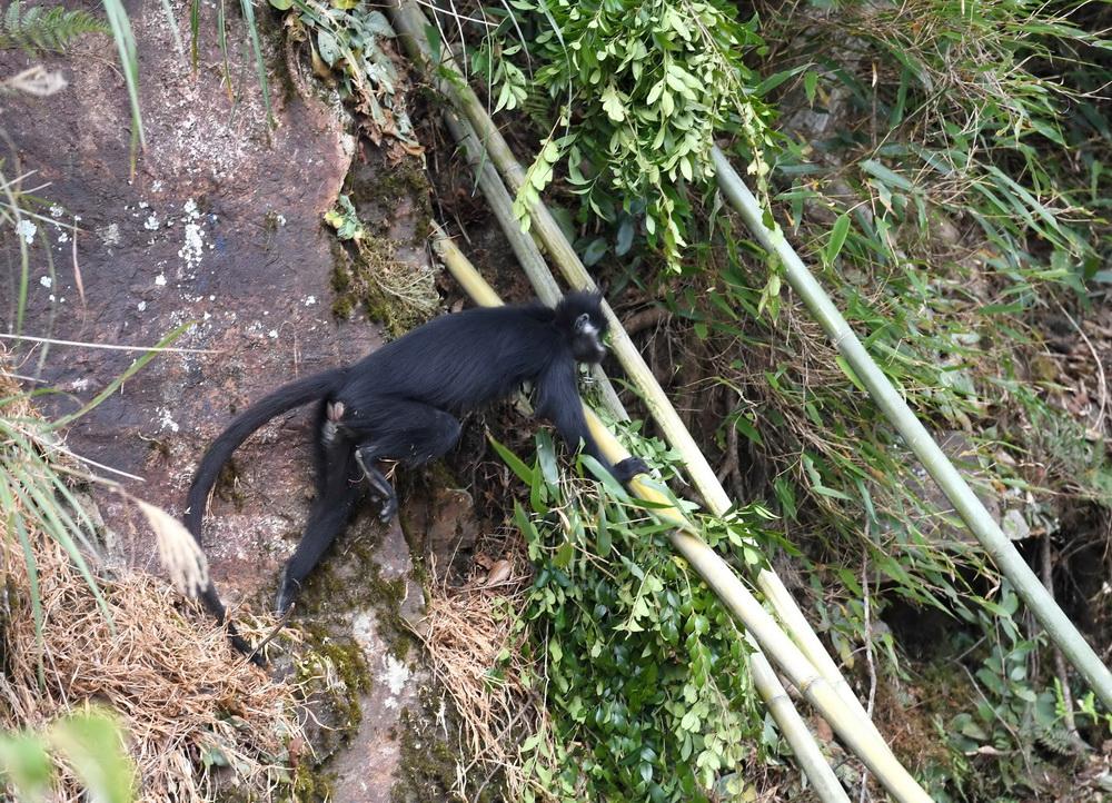 11月6日,一只黑叶猴在广西大明山国家级自然保护区走出放归适应性训练笼舍回归自然家园。 新华社记者 周华 摄
