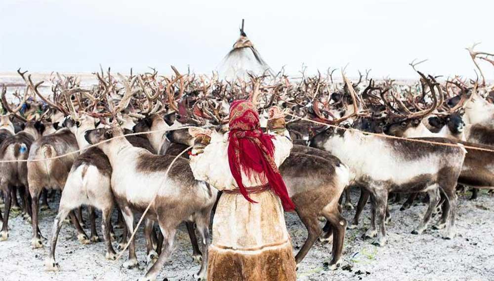 """涅涅茨人——""""冰上絲路""""沿線的馴鹿牧民"""