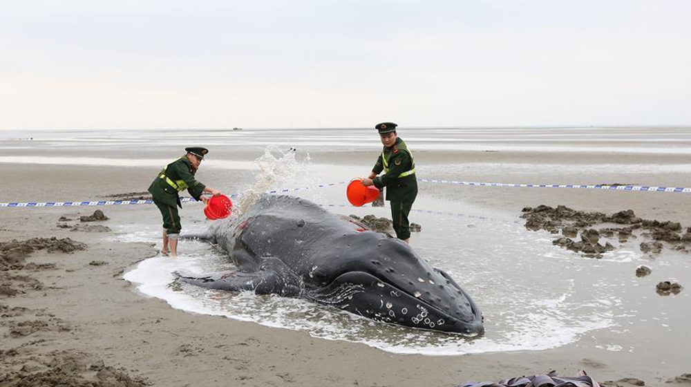 江蘇啟東:營救擱淺座頭鯨