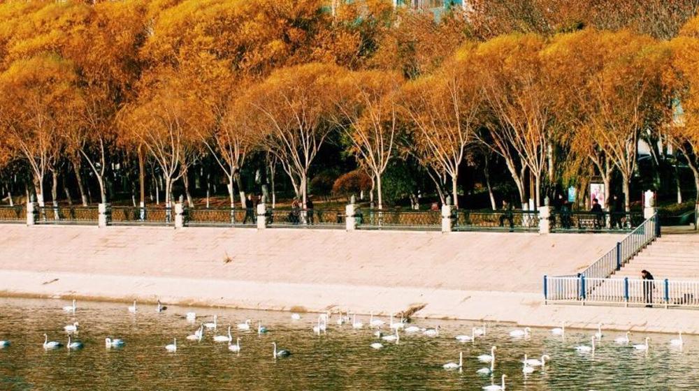 逾200隻天鵝在新疆庫爾勒孔雀河越冬