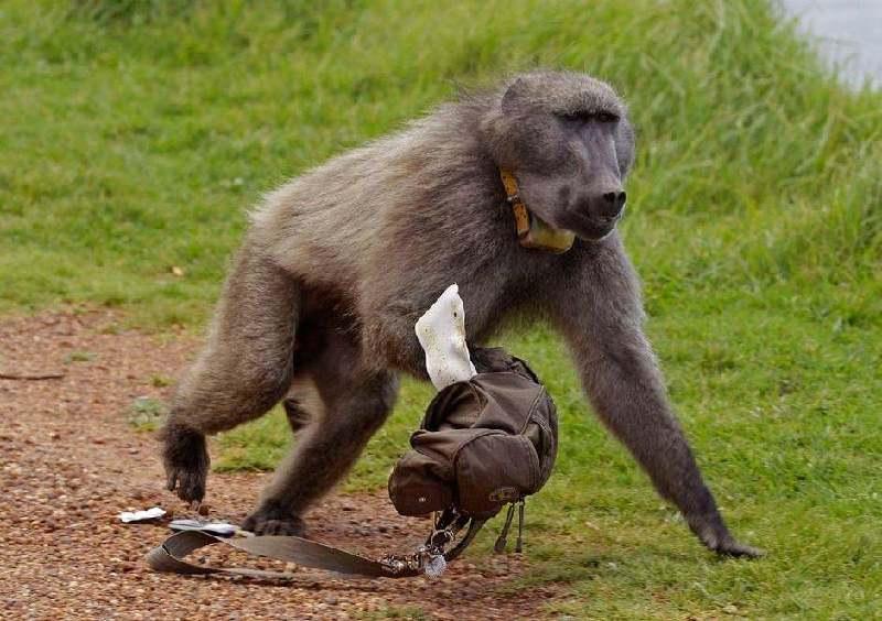"""南非:狒狒成""""大盗"""" 到处抢食物"""
