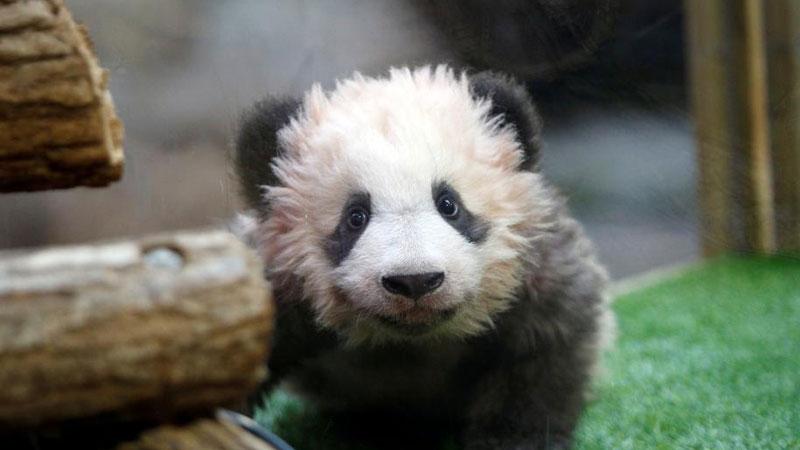 """首只在法出生大熊猫""""微笑""""出镜 取名""""圆梦"""""""