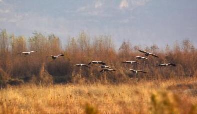 """河南孟津黄河湿地迎来""""候鸟季"""""""