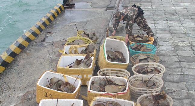 北海:查獲276隻國家二級保護動物東方鱟