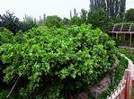 مشروع شينجيانغ لخفض انبعاثات غاز الدفيئة الزراعية