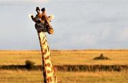 محمية ماساي مارا الوطنية في كينيا