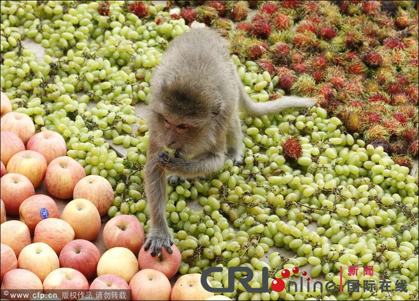 مهرجان بوفية القرود في تايلاند 001372acd7e3121d4e1d