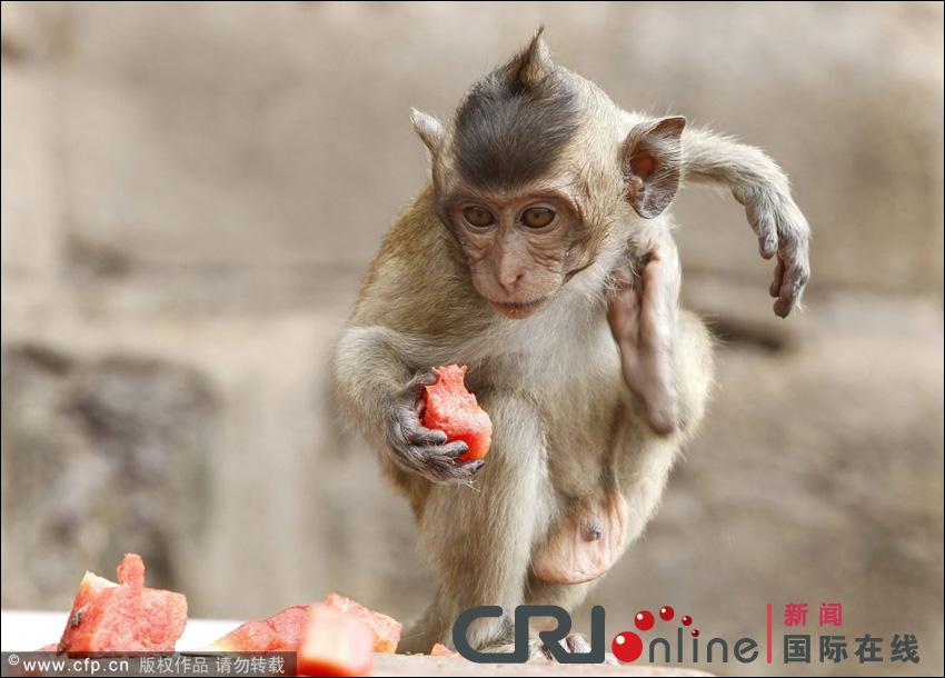 مهرجان بوفية القرود في تايلاند 001372acd7e3121d4e24