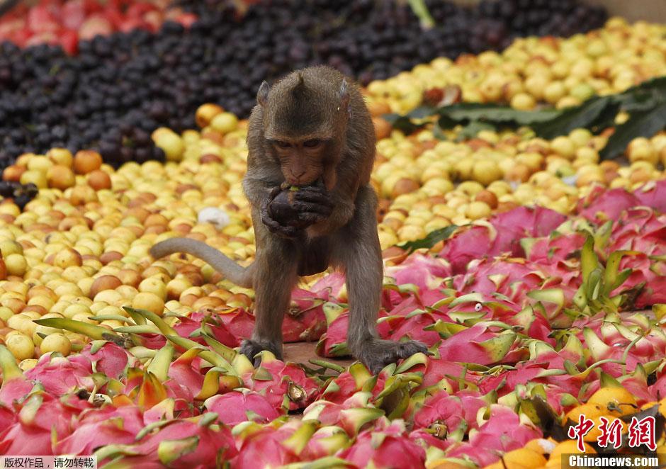 مهرجان بوفية القرود في تايلاند 001372acd7e3121d4e34