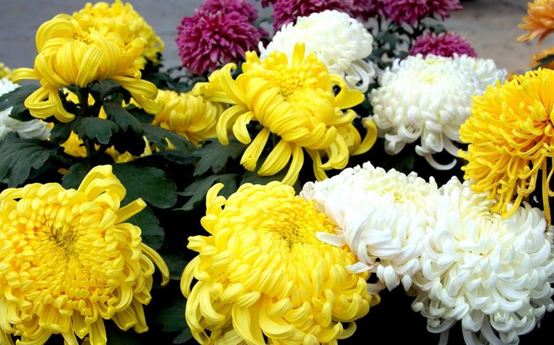 تمتع بزهور الأقحوان