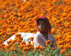 Saison des récoltes dans le pays des chrysanthèmes de pigment de la Chine