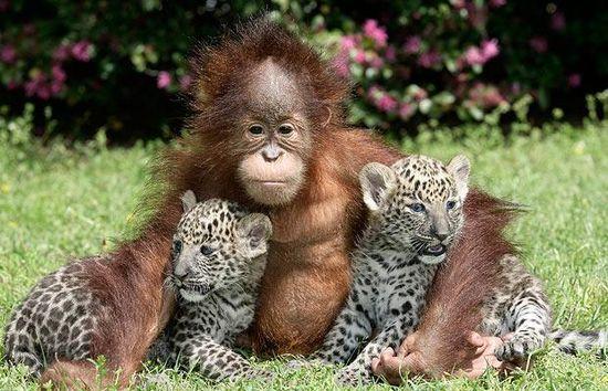 Orang-outan et les panthères d'amérique