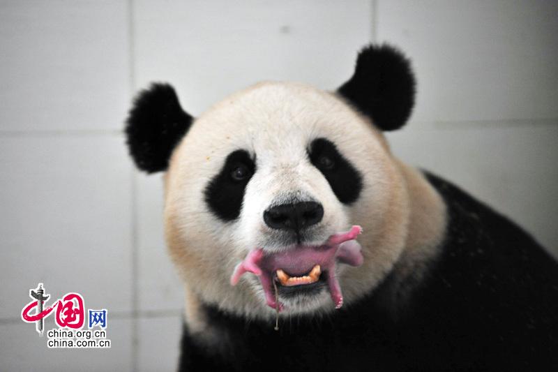naissance d 39 un panda g ant wolong. Black Bedroom Furniture Sets. Home Design Ideas