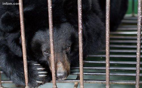 Dans la ferme d'ours Senbao à Weihai du Shandong, un ours attend l'extraction de la bile.