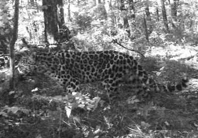 Un léopard sauvage d'Extrême-Orient photographié pour la première fois en Chine