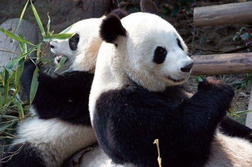 Un couple de pandas géants chinois attendu en France