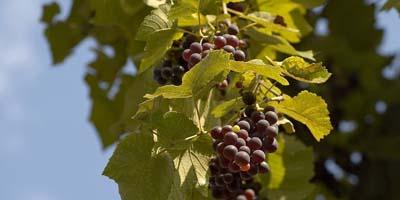 Les viticulteurs chinois appellent à des enquêtes sur les importations européennes