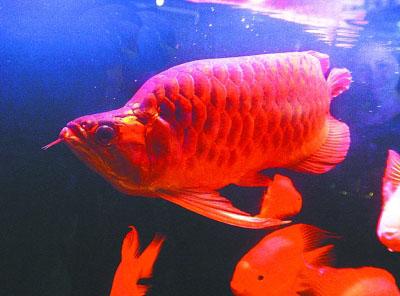 Un poisson arowana rouge en vente un prix de 2 68 for Poisson rouge prix truffaut