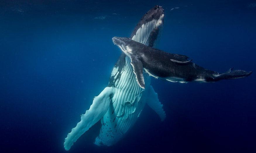 Photographie : un accouplement de baleines aux Tonga