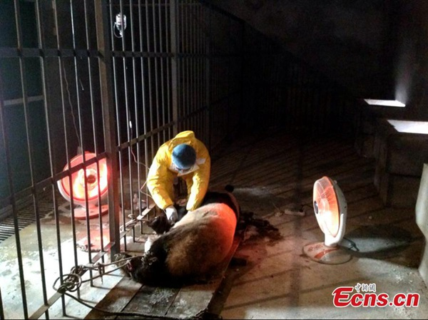 Un vétérinaire est en train de traiter un panda suspecté d'avoir contraté le virus de la rougeole au centre de sauvetage et d'élevage des animaux rares à Xi'an.