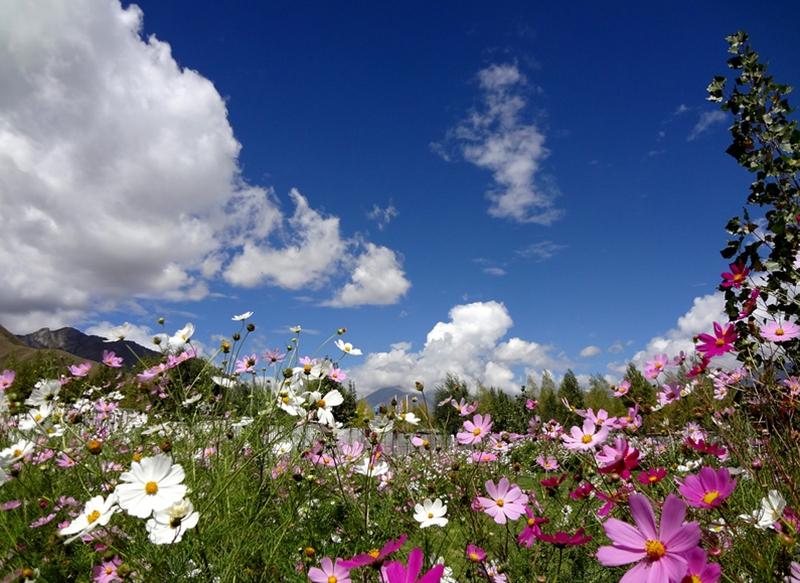 Shangri-la : les fleurs gesang, gardiennes de la montagne
