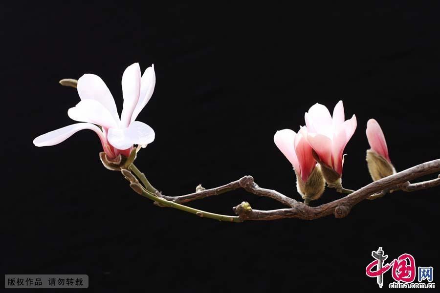 En mars, dans le jardin de Linyi au Shandong, ces fleurs de magnolia blanches sur lesquelles la pluie vient de tomber attendent de s'épanouir.