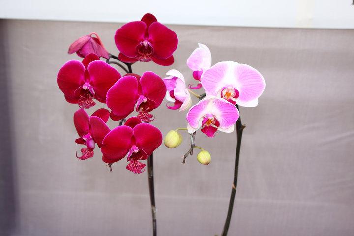 Dans la région autonome ouïghoure du Xinjiang, où l'hiver est particulièrement rude, les orchidées papillons sont cultivées dans les serres.