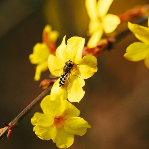 Qingdao : le jasmin d'hiver dans le parc Chengyang