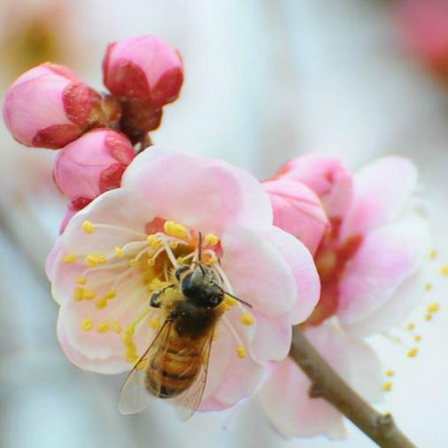 Beijing : cinq parcs pour admirer les abricotiers en fleurs