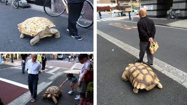Tokyo : un vieil homme se promène avec sa tortue géante