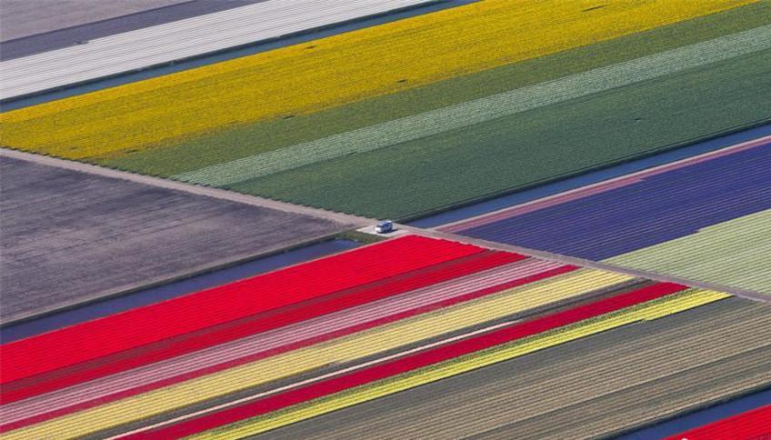 Pays-Bas : les plus grands champs de tulipes du monde vus du ciel