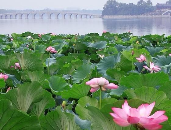 o 249 trouver les plus belles fleurs de lotus 224 beijing